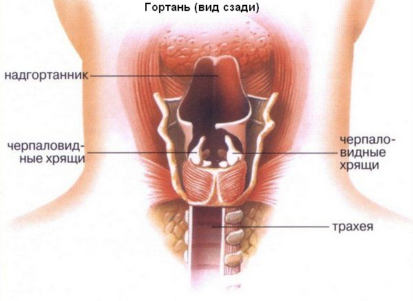 Анатомия человека. схема горла